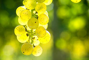 Close up of green grapes hanging in vineyard