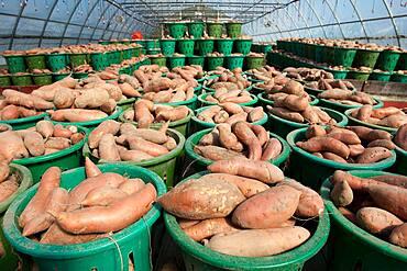 Baskets of vegetables on a farm, yams