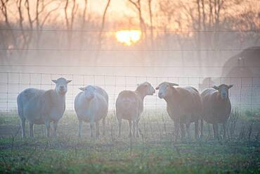 Katahdin Sheep at sunrise