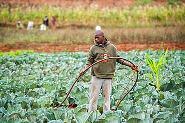 Young African man irrigating a cabbage patch in the Hhohho region of eSwatini, Africa.