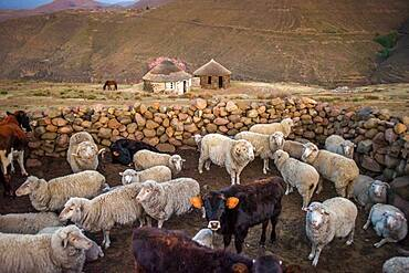 Sheep and cows in a stone kraal in a village in Lesotho, Africa