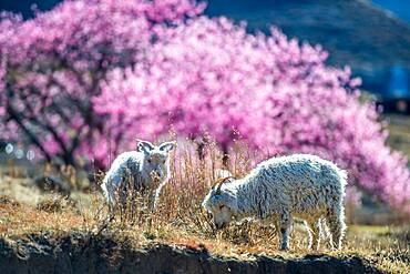 Goats grazing on the mountaintop in Lesotho, Africa