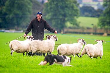 A shepherd and border collie herding sheep at the International Sheep Dog Trials in Moffat, Scotland, UK.