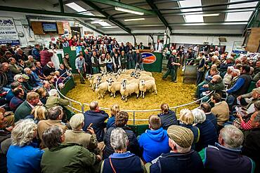 Mule Gimmer Lambs being sold at the Hawes Auction Mart in Yorkshire, England.