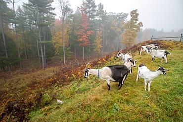 Alpine goats (Capra aegagrus hircus) on a dairy farm in Harrison, Maine.