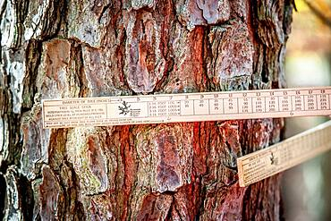 A tree scale stick measuring a tree in the woods.