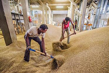 Addis Ababa, Ethiopia - Ethiopian male workers shoveling arabica coffee beans to prepare them for export at Oromia Coffee Farmers Cooperative.