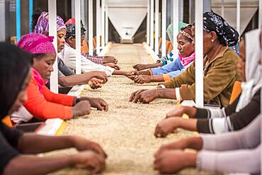 Addis Ababa, Ethiopia - Ethiopian female workers sorting arabica coffee beans to export at Oromia Coffee Farmers Cooperative.
