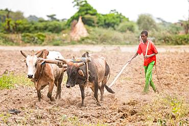 Meki Batu, Ethiopia - Young male workers steering cattle to till the ground at the Fruit and Vegetable Growers Cooperative in Meki Batu.