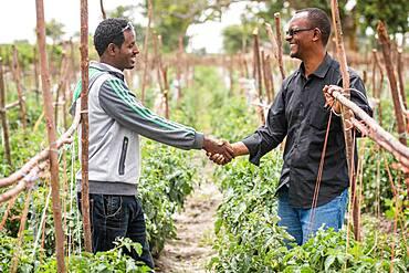 Meki Batu, Ethiopia - Male workers posed shaking hands next to growing tomato plants at the Fruit and Vegetable Growers Cooperative in Meki Batu.