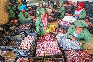 Meki Batu, Ethiopia - Female workers peeling onions for added value at the Fruit and Vegetable Growers Cooperative in Meki Batu.