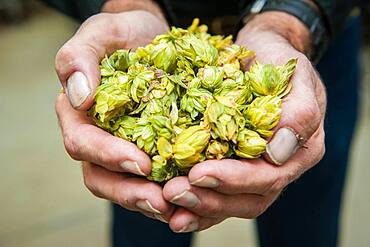 Hand of hops for brewing