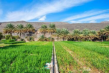 Oman; Wadi Ghul, Date farm