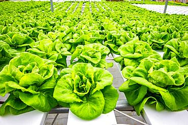 Close up on crisp Bibb lettuce that is being grown hydroponically, Salisbury, Maryland