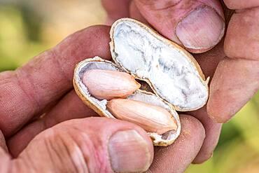 Male hand cracks open peanut shell to expose fresh nuts inside, Tifton, Georgia.