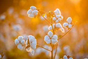 Warm sunlight showers down on soft and ripe cotton bolls, Tifton, Georgia.