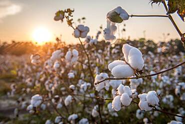 Sunsets in the background of bountiful cotton field in Tifton, Georgia