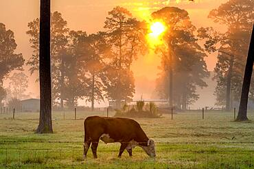Steer eating grass in foggy field as the early morning sun radiates out from behind a line of tall trees, Tifton, Georgia.