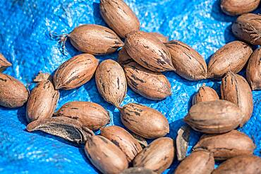Pile of pecans on blue tarp after being harvested, Tifton, Georgia.