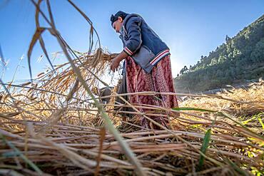 A woman harvesting barley near Ankober, Ethiopia.