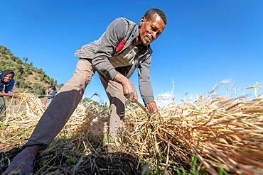 A man harvesting barley near Ankober, Ethiopia.