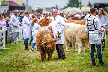 A Scottish Highland cattle participating at the Great Yorkshire Show, Harrogate, Yorkshire, UK