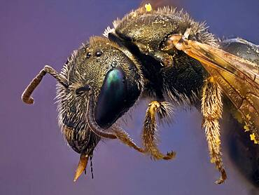 A small metallic bee covered on pollen, it has a parasitic mite on the wing