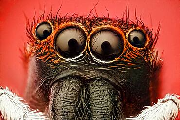 Jumping spider; about 5.00 species, making it the largest spider family. Those wonerfull eyes have evolved to make it a fierce predator