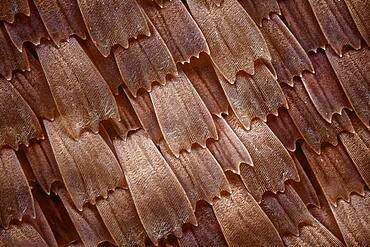 Scales from a butterfly of the Kallima family, these butterflies look like dry leaves; texture of the scales can be apreciatted