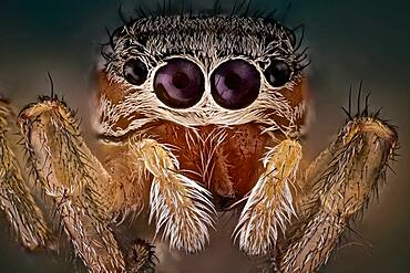 A beautiful and yet small jumping spider; They have good vision and use it for hunting and navigating. They are capable of jumping from place to place, secured by a silk tether