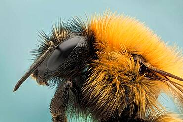 Like their relatives the honey bees, bumble bees feed on nectar and gather pollen to feed their young