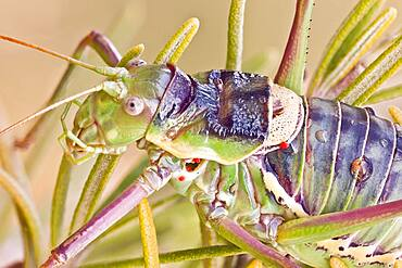 A bush cricket on a Rosmary plant. The atrophied wings of Ephippiger species are unfit to flight and only used for the emission of sounds. This one has some parasitic mites on it