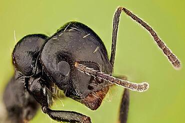 High magnification shot of an ant, it shows how hairy they can be