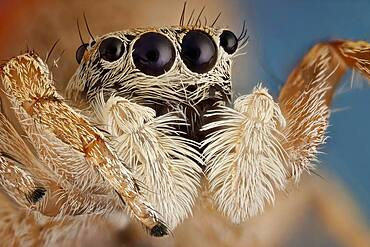 A small jumping spider; these spiders make great hunters, using their very agile jumps giving their preys no time to react