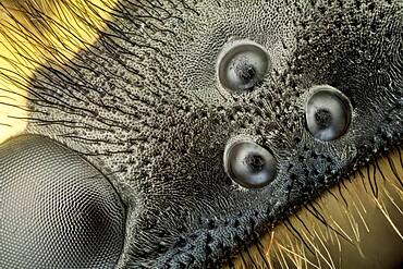 A high magnification picture of the ocelli and ommatidium of a german wasp; a special technique to get a SEM like image was used.