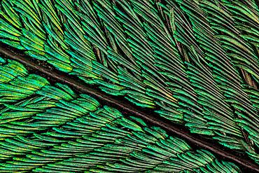 Peacock tail feathers are pigmented brown, but their microscopic structure makes them also reflect blue, turquoise, and green light, and they are often iridescent.