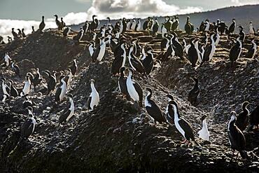Imperial cormorant (Phalacrocorax atriceps), Tuckers Islets, Whiteside Canal, PN Alberto de Agostini, Tierra del Fuego, Patagonia, Chile