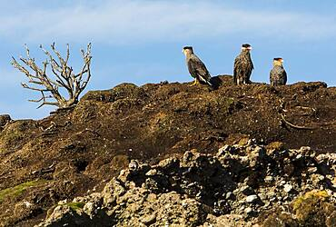 Traro (Caracara plancus), Tuckers Islets, Whiteside Canal, PN Alberto de Agostini, Tierra del Fuego, Patagonia, Chile