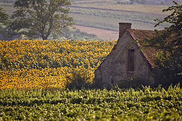 Old farm building among sunflowers and vineyard, St.-Pourcain-sur-Sioule, Allier, France, Europe