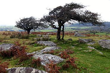 Two windswept trees, near Hexworthy, Dartmoor, Devon, England, United Kingdom, Europe