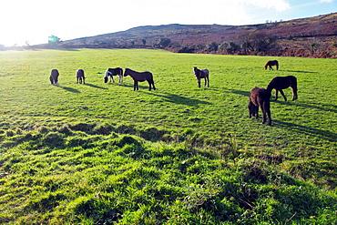 Dartmoor ponies at Corndonford Farm, Dartmoor National Park, Devon, England, United Kingdom, Europe