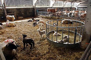 Lambs in lambing shed on a farm, Dartmoor National Park, Devon, England, United Kingdom, Europe