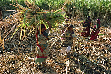 Sugar cane harvest, Gujarat state, India, Asia
