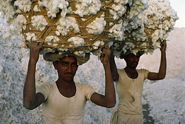 Cotton harvest, Gujarat state, India, Asia