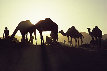 Camel Fair, Pushkar, Rajasthan state, India, Asia