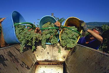 Picking grapes at Villa di Vetrice, Chianti Rufina, Tuscany, Italy, Europe