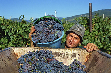 Gathering Sangiovese grapes at Grati, Villa di Vetrice, Rufina, Chianti Rufina, Tuscany, Italy, Europe