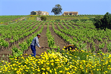 Man with machine cultivating the vines in spring in a vineyard near Marsala on the island of Sicily, Italy, Europe