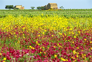 Wild flowers in the spring in the Marsala hills on the island of Sicily, Italy, Europe