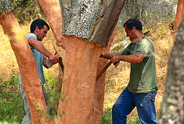 Two men cutting cork in the traditional way near Tempio Pausania, centre of the industry, on Sardinia, Italy, Europe